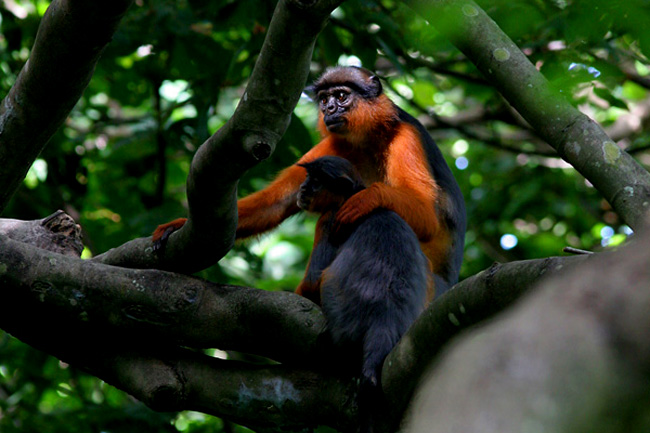 Red colobus monkey, the Gambia      Tagen av Anton Jarnheimer